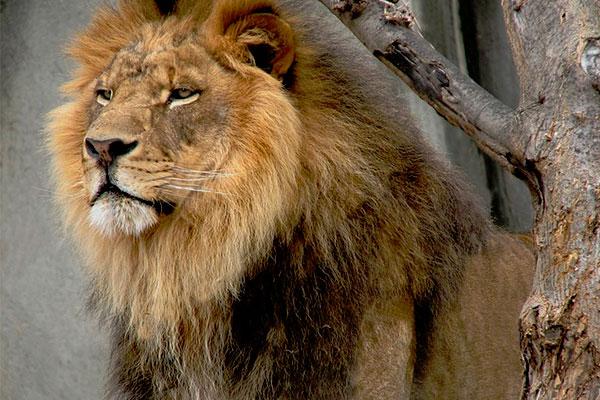 Как стать хладнокровным - картинка льва